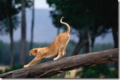 Stretch_lion